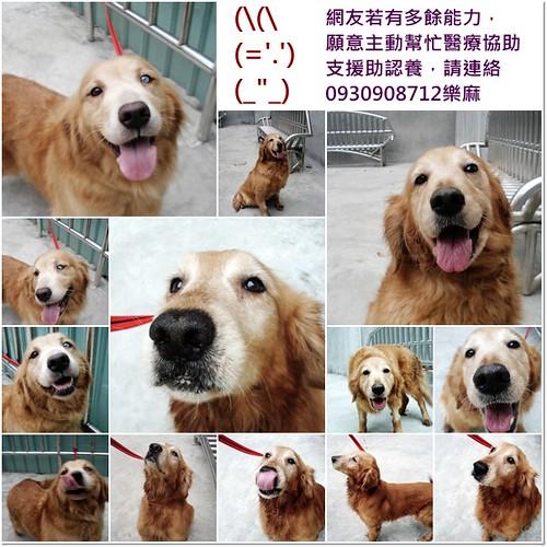 「支援助認養」桃園與深坑救援放在台北中途中的三隻黃金獵犬,需要醫療資源,中途費用支援助認養,謝謝您,20110221