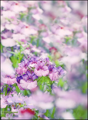 Valley of flowers (whoisnd) Tags: flowers red white macro green canon purple bokeh petal stigma 100l 1div
