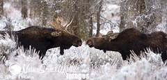 Moose, Alces alces (Stan Tekiela's Nature Smart Wildlife Images) Tags: winter usa snow animal mammal cow critter unitedstatesofamerica moose bull stockimages nosetonose vertebrates mamalia alcesalces vertibrate stantekiela naturesmartwildlifewordsandimages