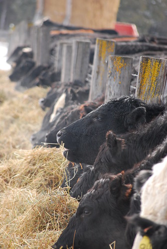 heifers and hay