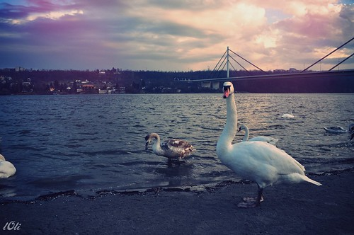 Danube and white swan