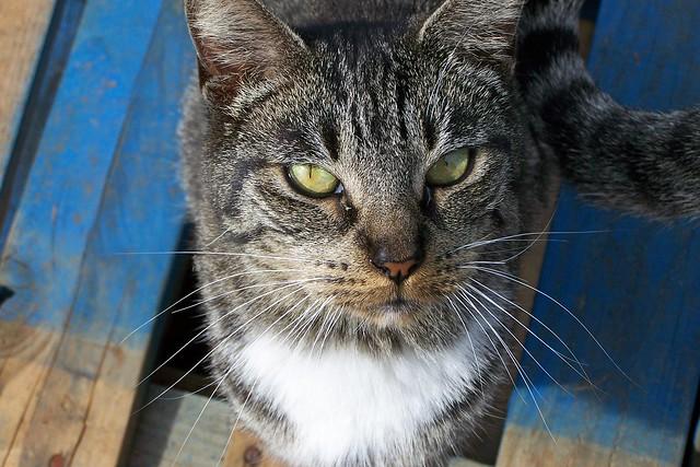 Lanai Cat
