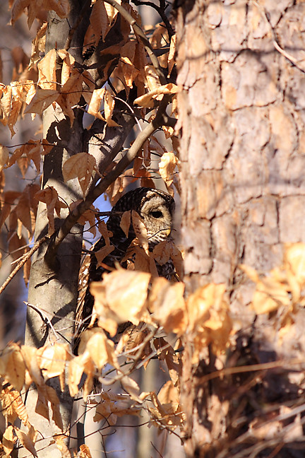 barred owl, lilly, trying to blend in