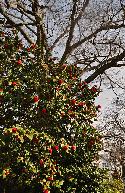 Red Camellia on Colonial