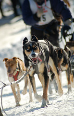 Sterling (DanakoShoots) Tags: winter dog sport alaska race fur hill ak canine anchorage musher mushing sled rendezvous dogsled furrondy rondy cordovastreet asdra openworldchampionship nathansterling