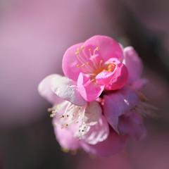 HPPT with Japanese Apricot! (Apricot Cafe) Tags: pink white flower yellow japan f28 japaneseplum japaneseapricot tokyo東京 prunusmume梅 canonef100mmf28lmacroisusm