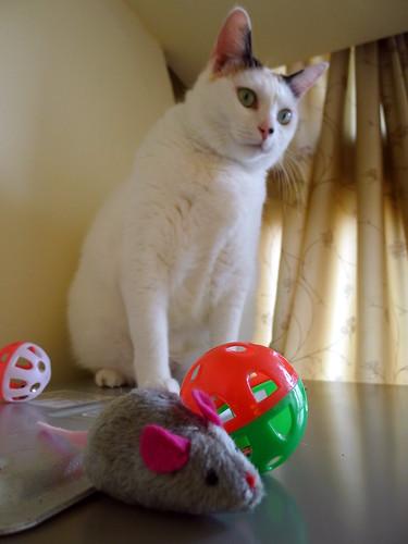阿珠家的貓-妞妞看著貓玩具