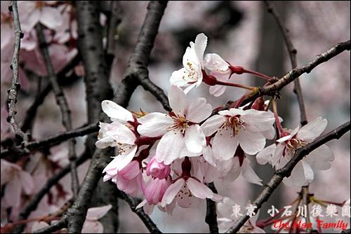 東京 小石川後樂園櫻花