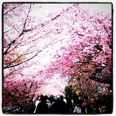 奥までずうっと桜