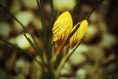 The face of spring (Elisabeth de Ru) Tags: flower face spring cobblestones lente krokus inmyfrontyard elisabeth85flickr sonydslra300 elisabethderu