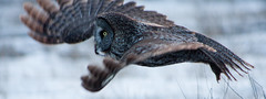 Hunter On Wings (BigSkyKatie) Tags: motion flying wings hunting flight owl panning hunt greatgray strixnebulosa bigskycountry greatgrey katielasallelowery