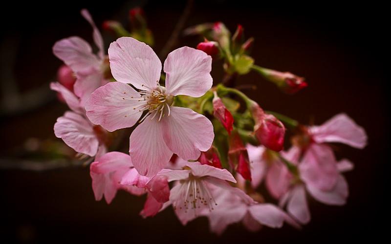 北投文物館前的櫻花