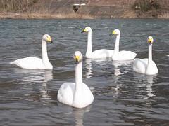 近所の川原の白鳥
