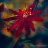 A Song of Faith (fesign) Tags: plant flower nature flora vine passiflora passionflower allangardens magicunicornverybest selectbestexcellence magicunicornmasterpiece sbfmasterpiece outstandingromanianphotographers sbfgrandmaster