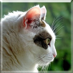 Jasmijn from the other side. (Cajaflez) Tags: portrait pet cute eye cat kat chat profile katze portret gatto huisdier poes oog twofaces profiel pinkear cc200 cc100 bestofcats tweegezichten catmoments 100commentgroup saariysqualitypictures mygearandme mygearandmepremium mygearandmebronze rozeoortje