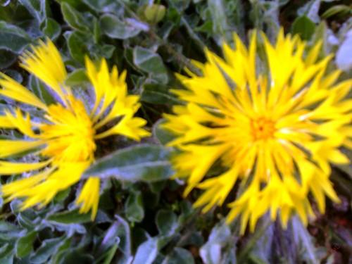 Fleur sauvage زهرة برية