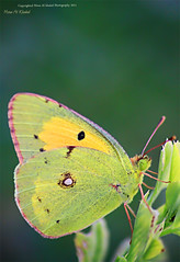 Greeen!! (mzna al.khaled) Tags: macro green colors beautiful yellow canon butterfly focus insects saudi closup natrue 105mm   50d      macrolife