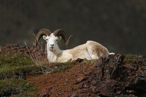 Dall sheep-2.jpg