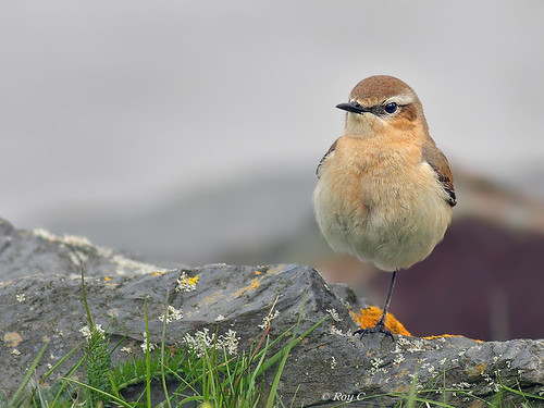 Wheatear on one leg by roychurchill