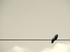 A pidgeon on a wire (Alessandro Zangrilli) Tags: bird wire minimal minimalism minimalistic pidgeon