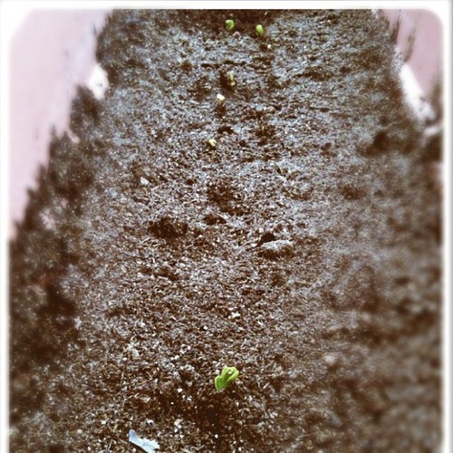 first sprouts of my garden! (radishes)