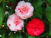 flowers in bloom (argiveshots) Tags: flowers floral spring bush seasons science change shrub biology horticulture carnations blooming pinkcarnation redcarnation holycreationsofnature biotany