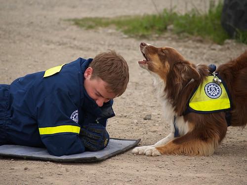 Rettungshund (Aussie) beim Training