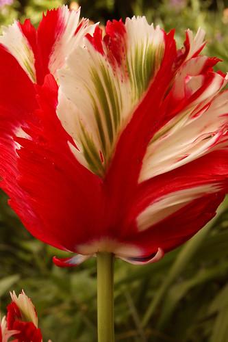 "Tulipa ""Estella Rijnveld"""