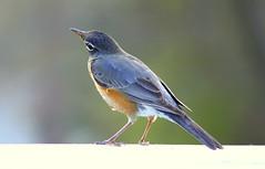American Robin (tonypic) Tags: bird robin birds outdoors wildlife northcarolina americanrobin 55250mm canont1i