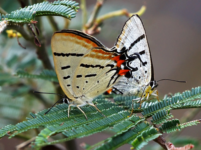 Imperial Hairstreak (Jalmenus evagoras)