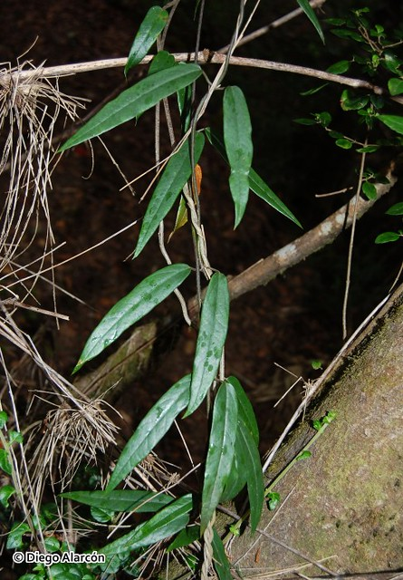 <br><br><br>Pahueldún (<i>Cynanchum pachyphyllum</i>) creciendo en el Monumento Natural Contulmo, Región de la Araucanía