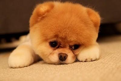 boo_Pomeranian_Dog_01