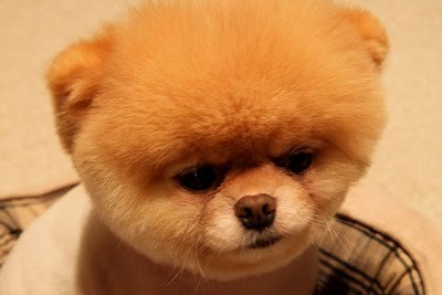 boo_Pomeranian_Dog_07