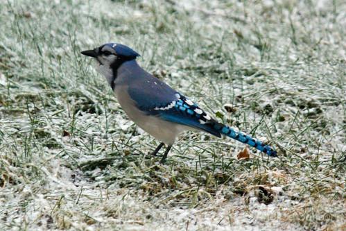 Blue Jay-1.jpg