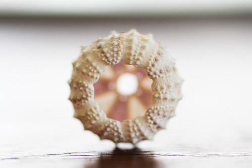 Coelopleurus exquisitus sea urchin test
