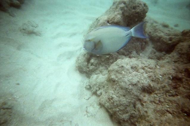 Ringtail Surgeonfish