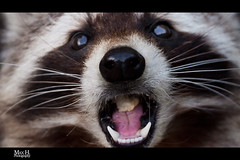 Nibbler Coon (Max Habich) Tags: pink light wild max face animals photoshop canon zoo austria sterreich eyes essen focus raw dof view bokeh teeth tripod rosa eat coon bite wildanimal nibble dslr yumm obersterreich manfrotto nibbler maximilian ballhead 400mm waschbr o 500d upperaustria stativ beisen kugelkopf habich canonef100400mmf4556lisusm canonef70200mmf4lusm flickraward canoneos500d manfrotto055xprob flickaward5 blinkagain bestofblinkwinner bestofblinkwinners triopob3ballhead