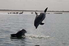 jumping dolphins (barbsab115) Tags: dolphin dolphins wilddolphins bottlenosedolphins portriverdolphins portadelaidedolphins