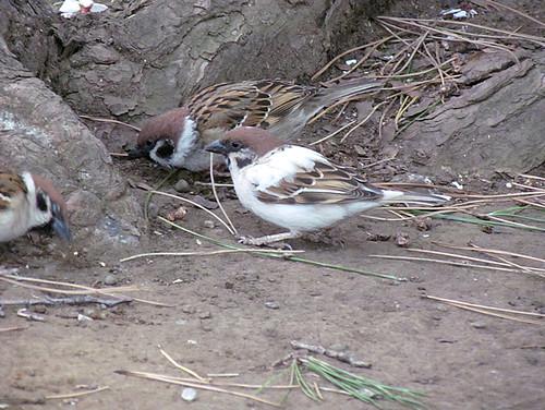 2011-4-6albino-Sparrow-2