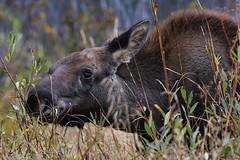 Moose Calf (larryvenus) Tags: moose moosecalf moosecalffeeding mooseofgrandtetonnationalpark grandtetonmoose grandteton grandtetonnationalpark nikon nikond500 nikonphotography tamron tamron150500mmlens