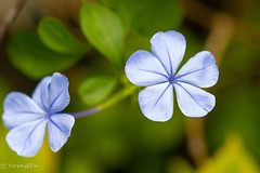 Plumbago (Yorkey&Rin) Tags: 10月 2016 autumn em5 flower inmygarden japan kanagawa macro october olympus olympusm60mmf28macro plumbago rin ta072280 マクロ ルリマツリ 秋 庭