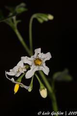 Solanum sp. (Lus Gaifm) Tags: solanumsp solanaceae lusgaifm macro natureza nature planta plantae flor flower fo pnln pnlitoralnorte
