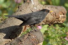Back to his best. (david.england18) Tags: maleblackbird blackbird smallbirds various tits blue great coal queensparkheywood canon7d canonef300mmf4lisusm birdsuk