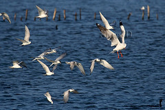 Hovering (Sara-D) Tags: nature birds canon wildlife gull aves srilanka ceylon migration tern hovering sarad brownheaded whiskeredtern whiskered asianwildlife saranga birdsofsrilanka brownheadedgull slbflying slbhovering sarangadevadealwis birdsofsouthasia wildsrilanka sarangadeva
