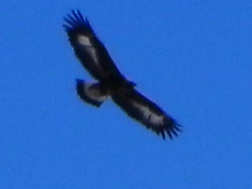 Aigle royal au Passieu 026