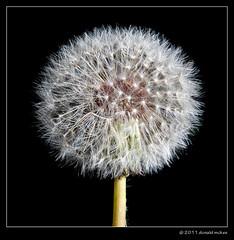 Dandelion seed head (DonMcKee) Tags: plants closeup blackbackground square weed seed dandelion seedhead onblack flickrduel