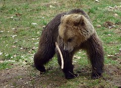 Young bear playing (Frans.Sellies) Tags: bear brown european bulgaria ursus brownbear bulgarie ursusarctos bulgarije bulgarien bulharsko bulgaristan  ursusarctosarctos   belitsa       p1280447 beareurasian