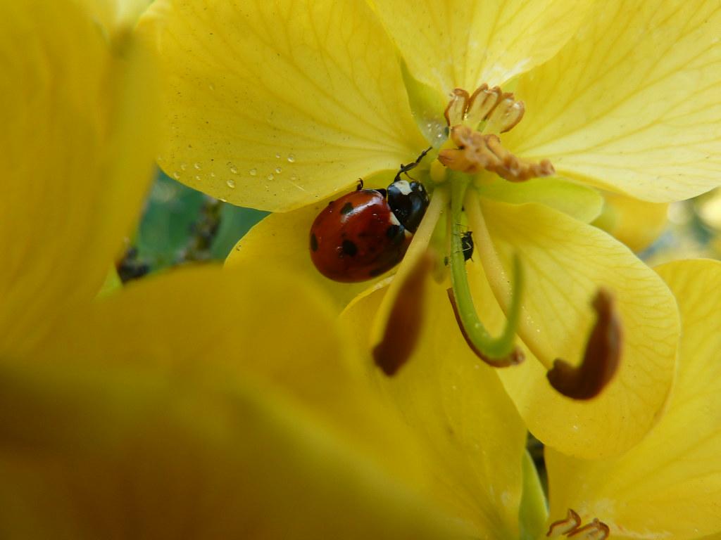 L'arbuste jaune et ses habitants, un immeuble surpeuplé mais merveilleusement organisé -Sur une belle fleur jaune, une coccinelle, quelques gouttes de rosée ou de miellat et un puceron... P1020688