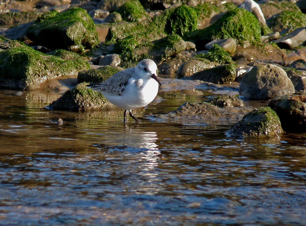 23884 - Sanderling, Pennard Pill, Gower
