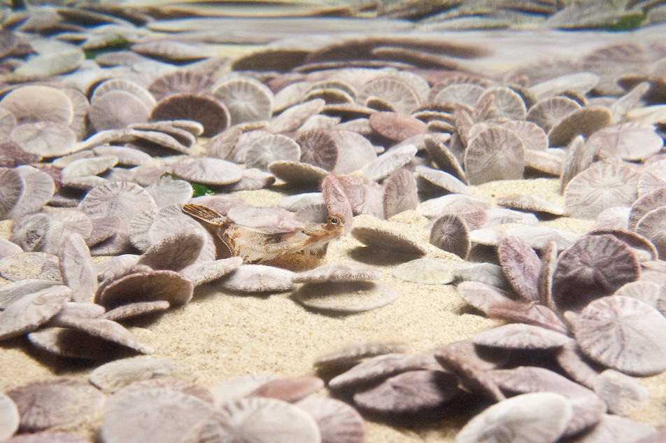Flat Fish Among Sand Dollars